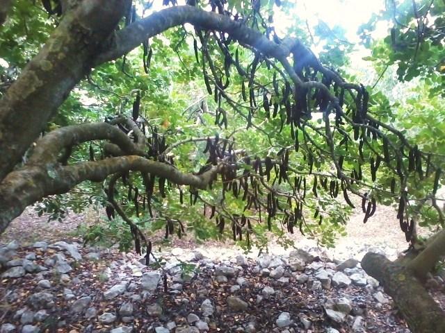 Strom rohovník z jehož lusků se získává prášek známý jako karob
