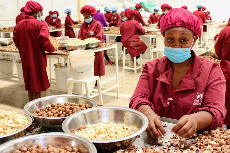 Zpracování makadamových ořechů v Nairobi