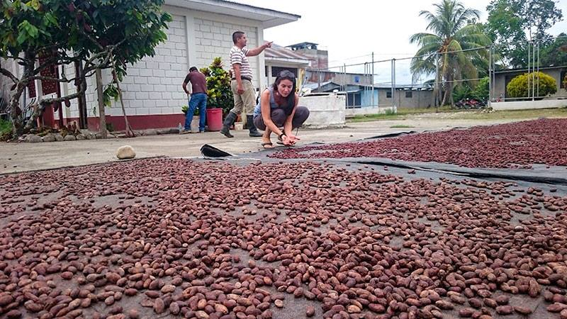 In the cacao farm